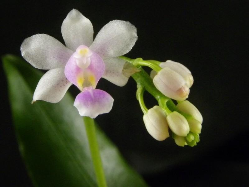 Phalaenopsis equestris x deliciosa (Phalaenopsis New Horizon) Nr_35_11