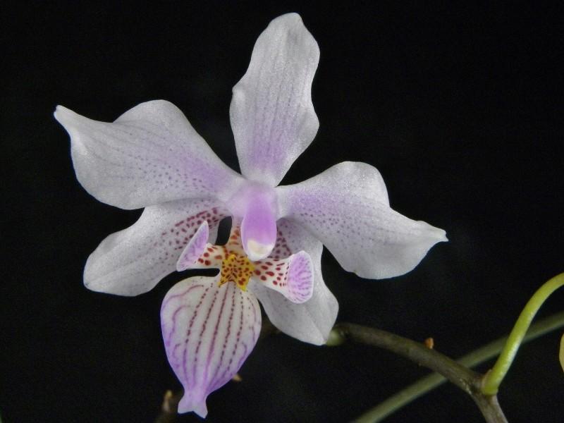 Phalaenopsis schilleriana x lindenii (Phalaenopsis Baguio) Nr_47111