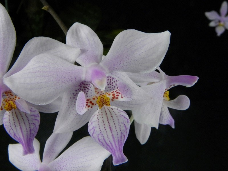 Phalaenopsis schilleriana x lindenii (Phalaenopsis Baguio) Nr_47112