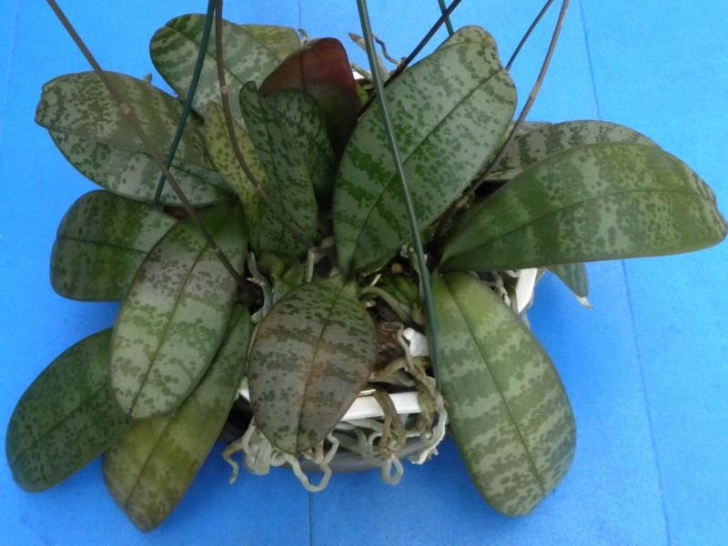Phalaenopsis schilleriana x lindenii (Phalaenopsis Baguio) Nr_47113