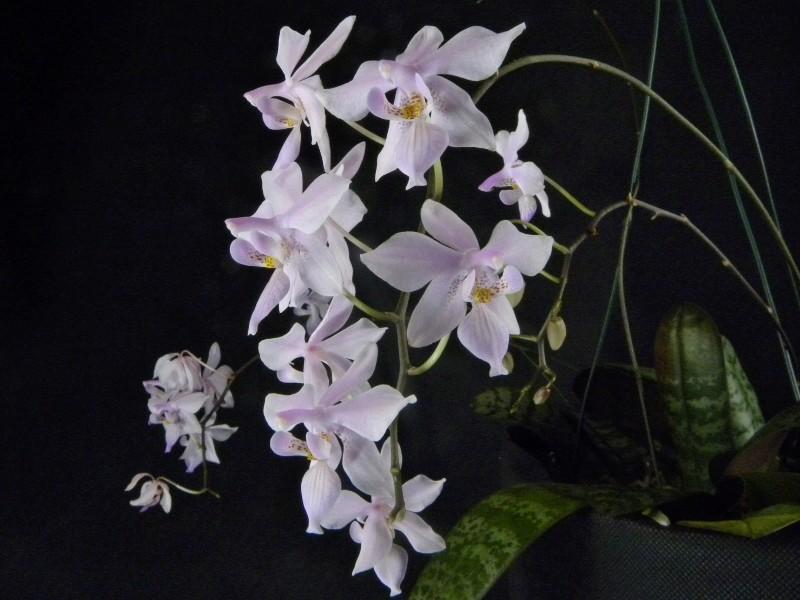Phalaenopsis schilleriana x lindenii (Phalaenopsis Baguio) Nr_47114
