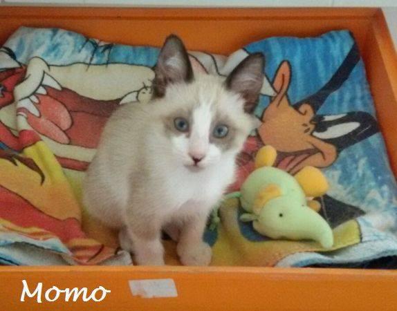 MOMO - CROISE SIAMOIS - ES 14390611