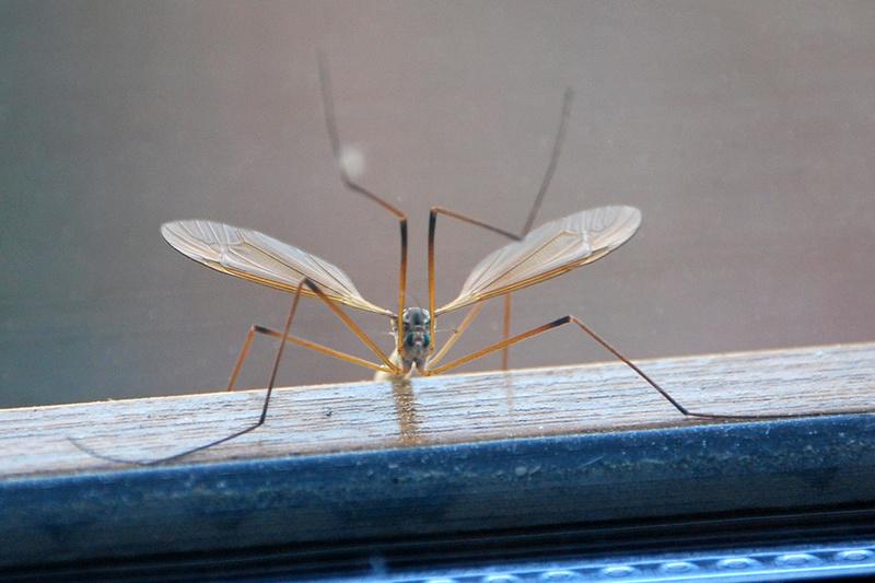 le cousin, gros moustique . Cousin11