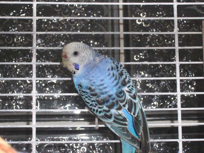 Nouvelle perruche dans la cage ^^  Dscf2010