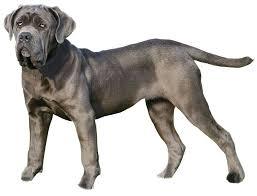 Le Mâtin napolitain….Joli nom pour un chien …. 215