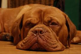 Le Dogue de Bordeaux 411