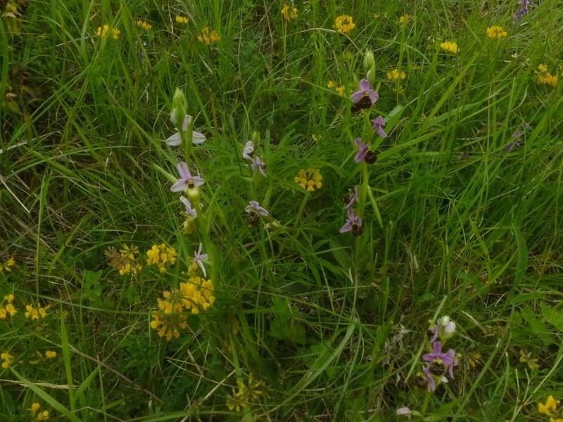 """Ophrys fuciflora à labelle """"décoloré"""" P1510412"""