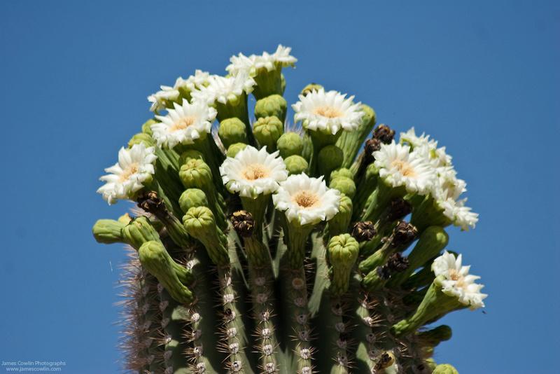 Kaktusi - Page 3 Jamesc10