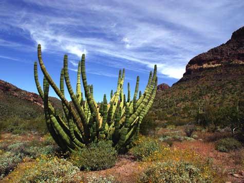 Kaktusi - Page 3 Organ-10