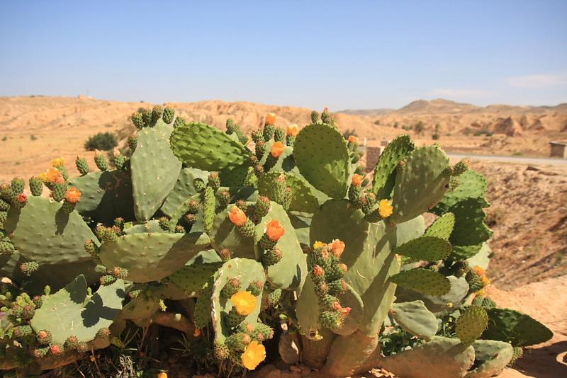Kaktusi - Page 3 Sahara11