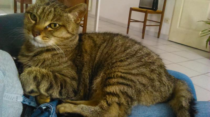 Helza, femelle Euro tabby fauve, née en 2012 Dsc_0110
