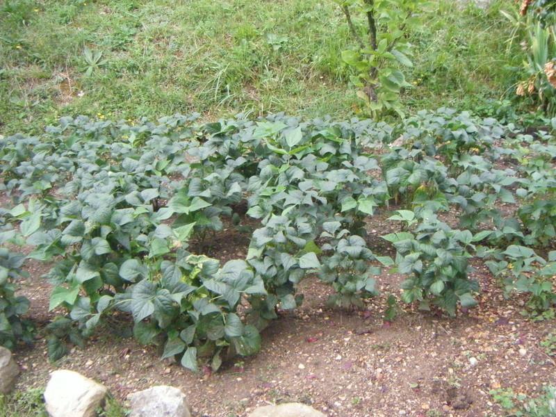 Mon ti jardinet  Poule_11