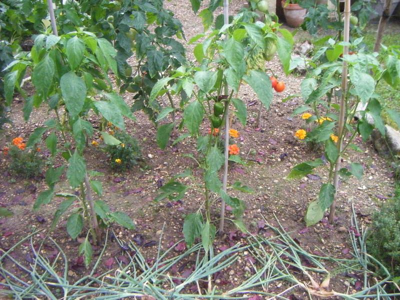 Mon ti jardinet  Poule_13