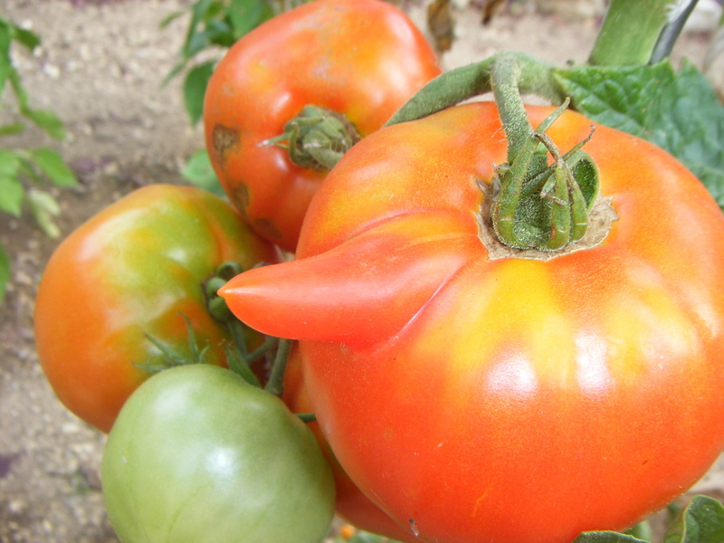 Mon ti jardinet  Tomate10