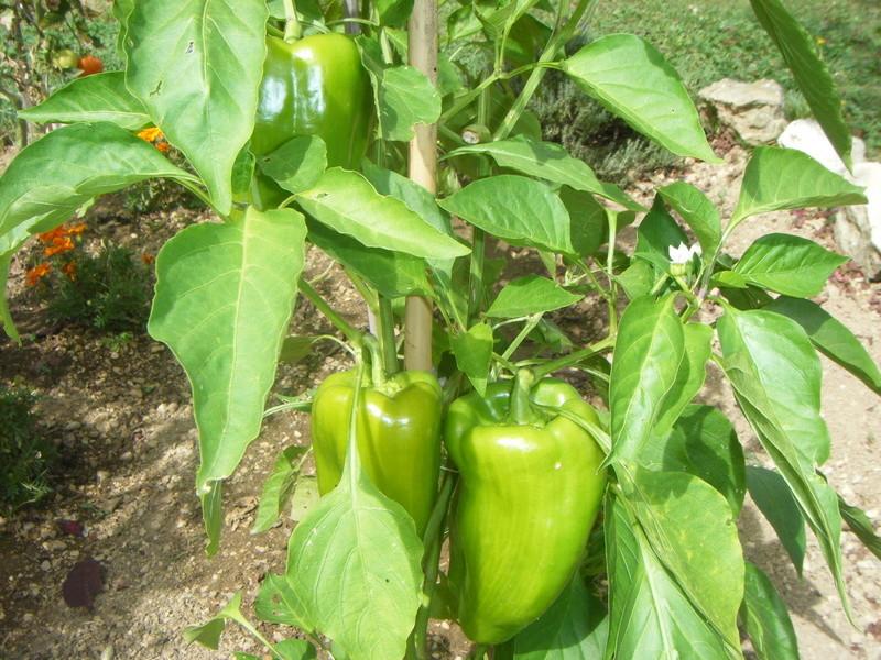 Mon ti jardinet  Tomate12