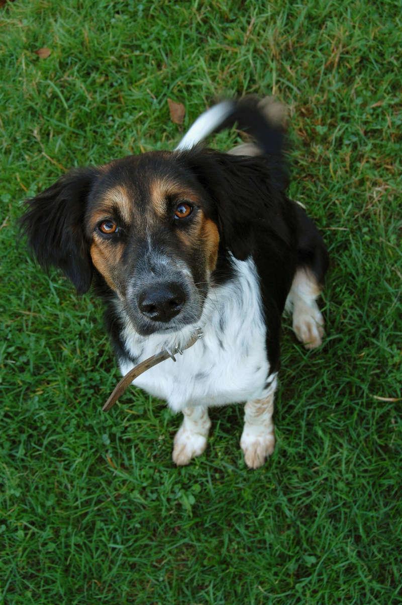 Zaga, adorable petite chienne croisée setter/épagneul ADOPTÉE   Dsc_0611