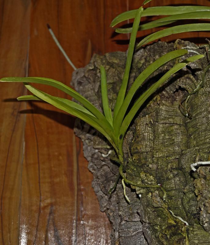 Phalaenopsis  Realistische Einschätzung - Ist sie noch zu retten? Magic-10
