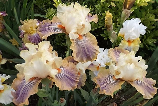 Iris 'Carnival of Color' - Paul Black 2009 -carni10
