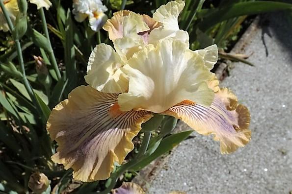 Iris 'Carnival of Color' - Paul Black 2009 _carni10