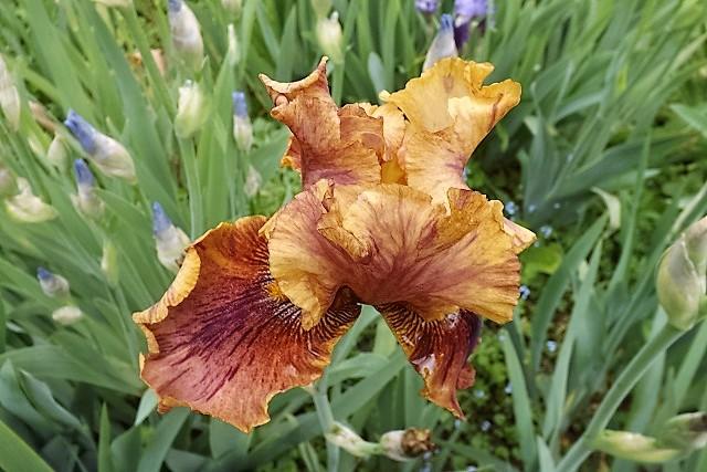 Iris 'Crimson Tiger' - Gerald Richardson 1996 Crisom10