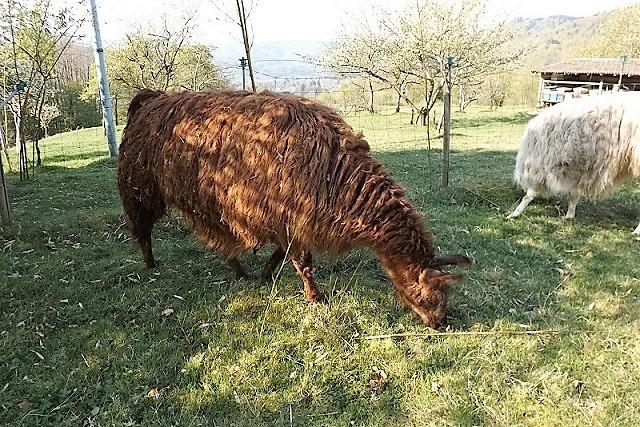 Lamas Dscf0612