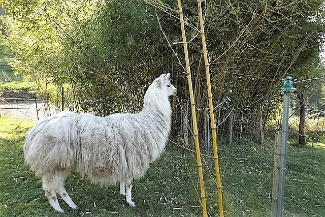 Lamas Dscf0613