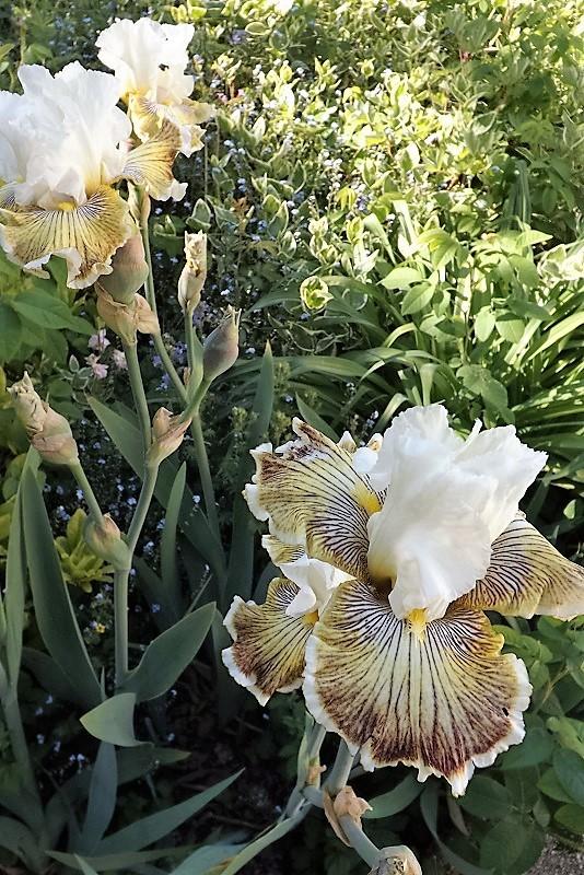 Iris 'Spring Madness' - Johnson 2009 Dscf0910