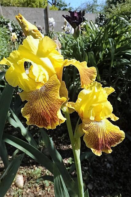 Iris 'Bengal Tiger' - William Maryott 1980 Dscf0915
