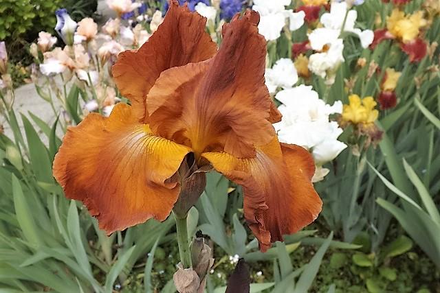 Iris 'Brindisi' - Schreiner 1979 Dscf0917