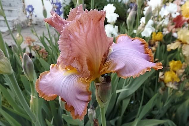 Iris 'Afternoon Delight' - Ernst 1983 Dscf0919