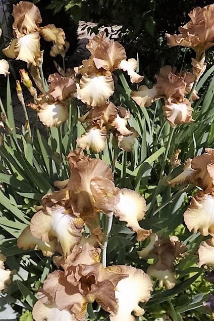 Iris 'Patina' - Keppel 1976 Dscf1118