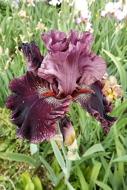 Iris 'Swordsman' - Blyth 2004 Dscf1210