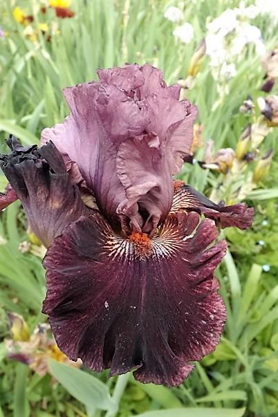 Iris 'Swordsman' - Blyth 2004 Dscf1212