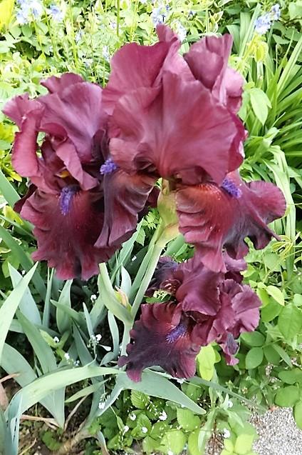 Iris 'Fortunate Son' - Schreiner 2006 Dscf1213