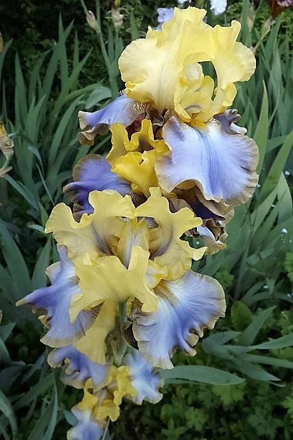 Iris 'Tumultueux' - Cayeux 1995 Dscf1215