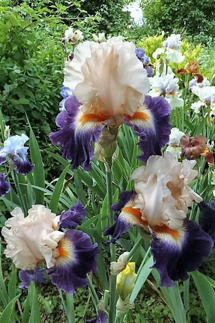 Iris 'Gitano' - Keppel 2007 Dscf1235