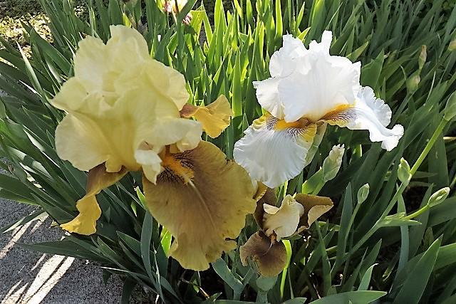 Iris 'Bayberry Candle' - Caroline DeForest 1966 Dscf1510