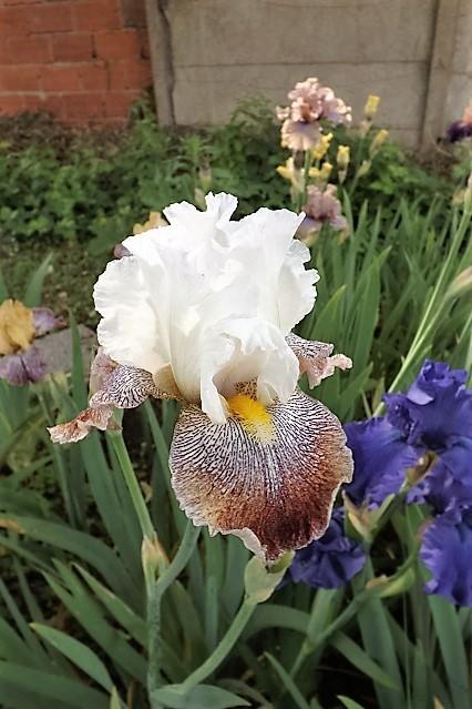 Iris 'Thundering Ovation' - Paul Black 2007 Dscf1613