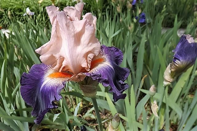 Iris 'Gitano' - Keppel 2007 Dscf1617