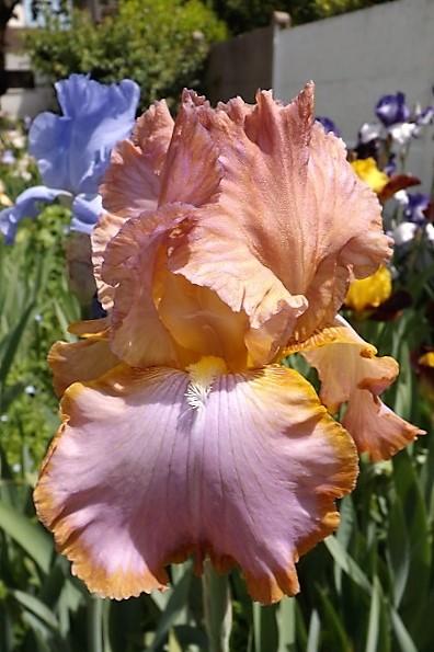 Iris 'Afternoon Delight' - Ernst 1983 Dscf1624