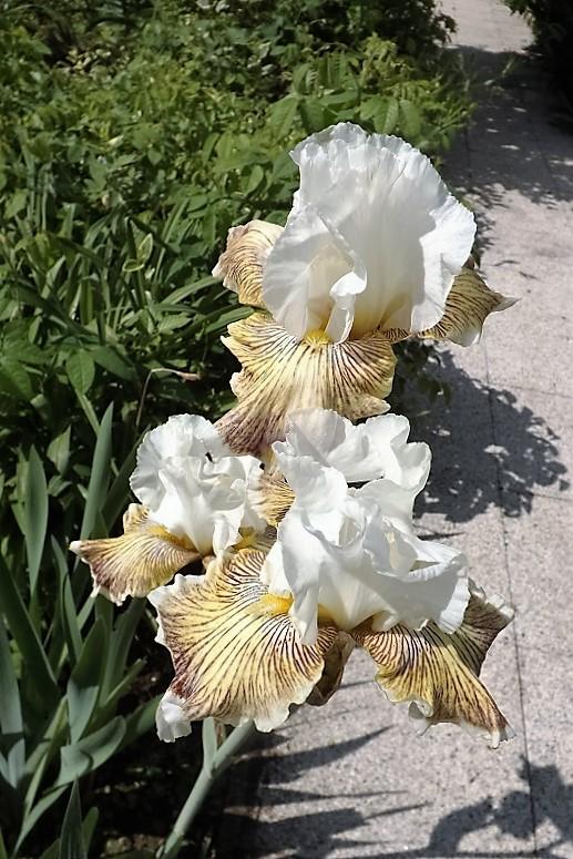 Iris 'Spring Madness' - Johnson 2009 Dscf1710