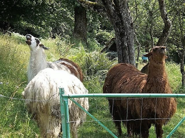 Lamas Dscf1714