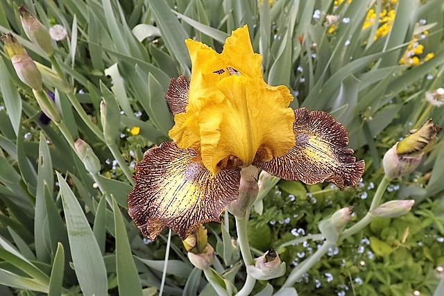 Iris 'Petit Tigre' - Richard Cayeux 2005 Petit_10