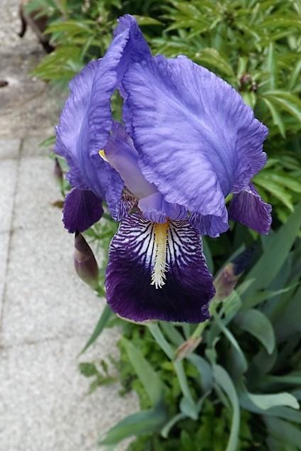 Iris 'Petit Vitry' - Ferdinand Cayeux 1906 Petit_11