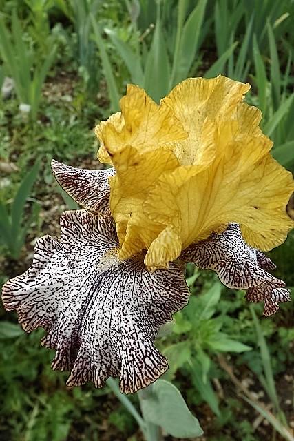 Iris 'Temporal Anomaly' - Tasco 2007 Tempor10