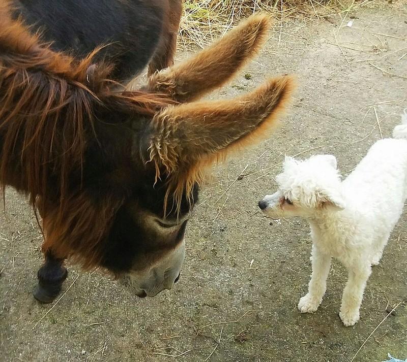 """Luna petite houpette de 9 mois """"chiens chinois à poils""""Adoptée  Galga_10"""