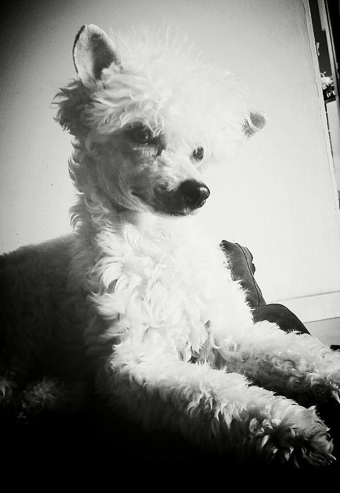 """Luna petite houpette de 9 mois """"chiens chinois à poils""""Adoptée  Galga_13"""