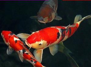 Le paradoxe du poisson rouge Carpe-10