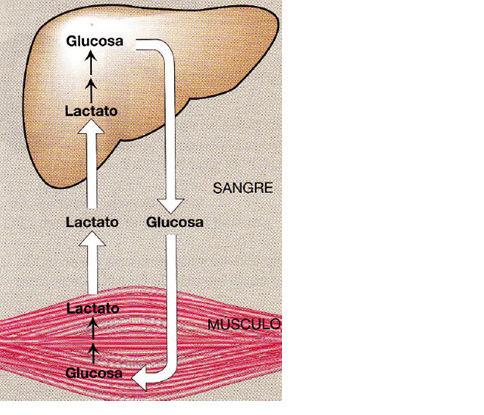 Unidad-II: Metabolismo de los Hidratos de carbono (12-19 sept-16) Cori10