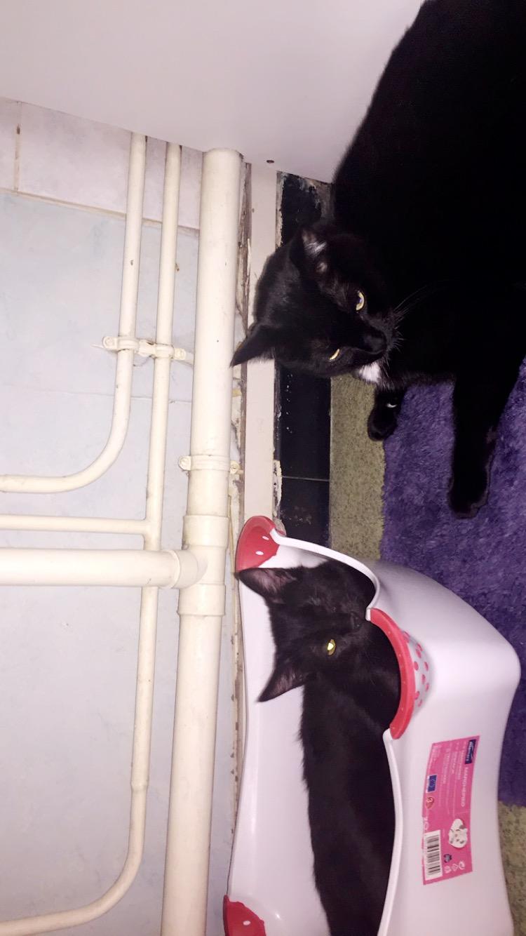 milord - Milord, chaton noir né le 01/05/2016 Image21